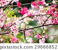 樱花 樱桃树 粉色 29666852