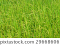 Rice field  background 29668606