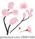 Pink Cherry blossom, Sakura. Flower of Japan. 29681566