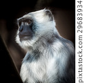 northern plains gray langur 29683934