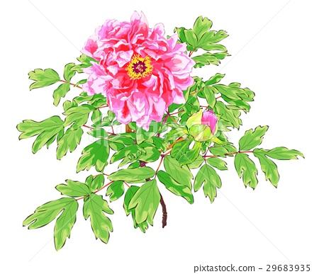 peony, flower, flowers 29683935