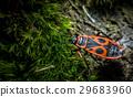 The firebug macro 29683960