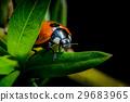 Ladybug macro photo 29683965