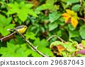 Yellow-bellied Fairy-flycatcher 29687043