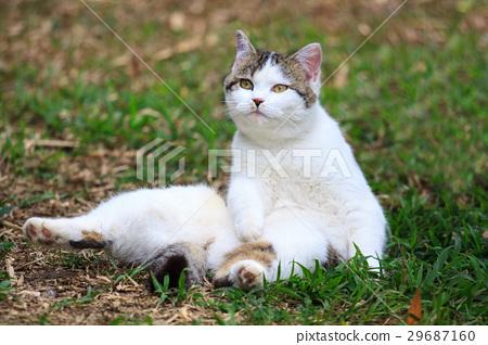 貓咪 29687160