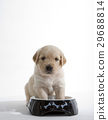 puppy of golden retriever at its bowl 29688814