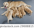 female dog of golden retriever with puppies 29688815