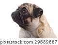 Portrait of mops dog on a white background 29689667