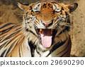 Bengal tiger 29690290
