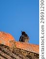 Black Redstart bird sits on old vintage roof 29691290
