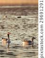 Couple of graylag goose birds o evening pond 29691291