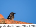black, roof, redstart 29691298
