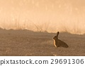 Wild hare in morning backlight on field with fog 29691306