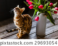 bengal cat with tulips 29693054