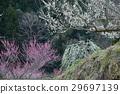 plum grove, Japanese apricot, white plum blossoms 29697139