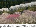 plum grove, full bloom, an ume flower 29697140