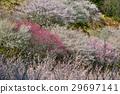 plum grove, full bloom, an ume flower 29697141