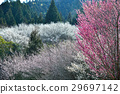 plum grove, Japanese apricot, white plum blossoms 29697142