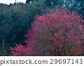 Japanese apricot, ume, full bloom 29697143