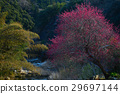 Japanese apricot, ume, early spring 29697144