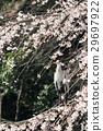 grey, heron, gray 29697922
