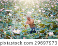 Old man thai farmer grow lotus in the season 29697973