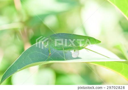 Phaneroptera楹 29702828
