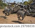 動物 跑步 奔跑 29706036