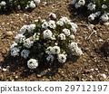 香雪球 花朵 花卉 29712197