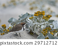 two banded plover 29712712