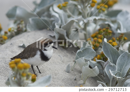 Two-banded Plover 29712713