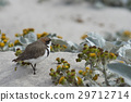 two banded plover 29712714