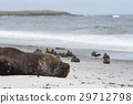 Southern Sea Lion on a sandy beach 29712798