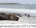 Southern Sea Lion on a sandy beach 29712798