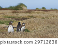 Magellanic Penguin with chicks 29712838