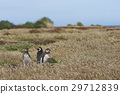 Magellanic Penguin with chicks 29712839