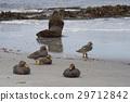 Southern Sea Lion 29712842