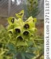 大戟属 花朵 花卉 29713187
