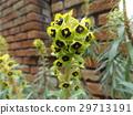 大戟属 花朵 花卉 29713191