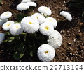 雏菊 花朵 花卉 29713194