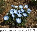 林草属植物(一种园艺观赏植物) 蓝色 花朵 29713199