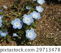 林草属植物(一种园艺观赏植物) 蓝色 花朵 29713478