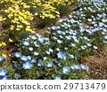 林草属植物(一种园艺观赏植物) 蓝色 花朵 29713479