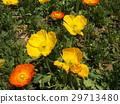 冰岛罂粟黄色和橙色花 29713480