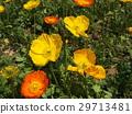 冰岛罂粟的橙色和黄色的花朵 29713481