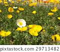 Orange and white flowers of Iceland poppy 29713482