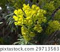 大戟属 花朵 花卉 29713563
