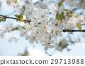 cherry blossom branch in a japanese garden 29713988