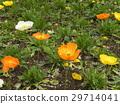 冰岛罂粟橙色和白花 29714041