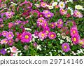 ฤดูใบไม้ร่วง,ดอกเดซี่,แปลงดอกไม้ 29714146